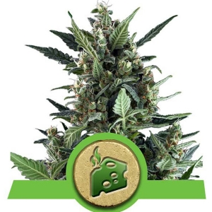 Royal Queen Seeds - Blue Cheese Auto 5 fem