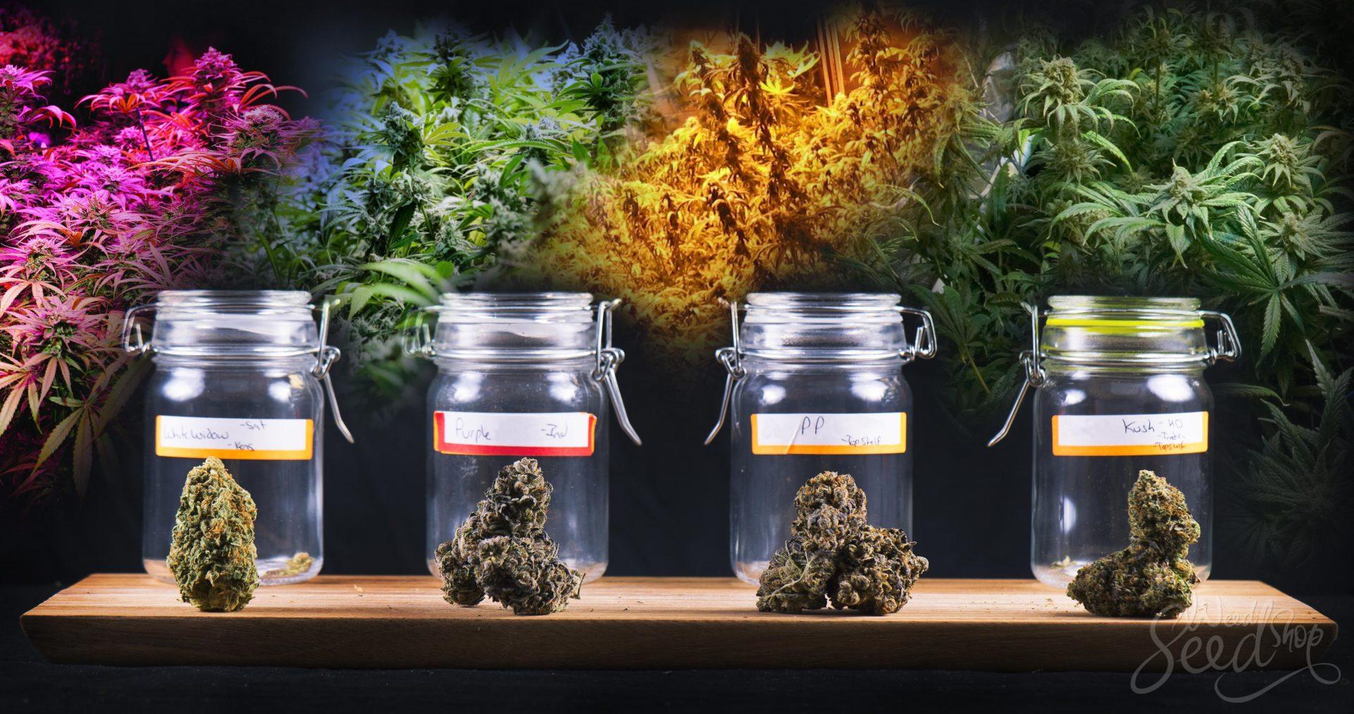 Cannabis Guida ai Genotipi e ai Fenotipi